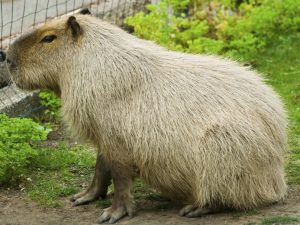 Capybara Open Farm Zoo