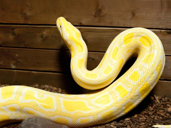 Albino Burmese Python - Open Farm and Mini Zoo Ardmore ...